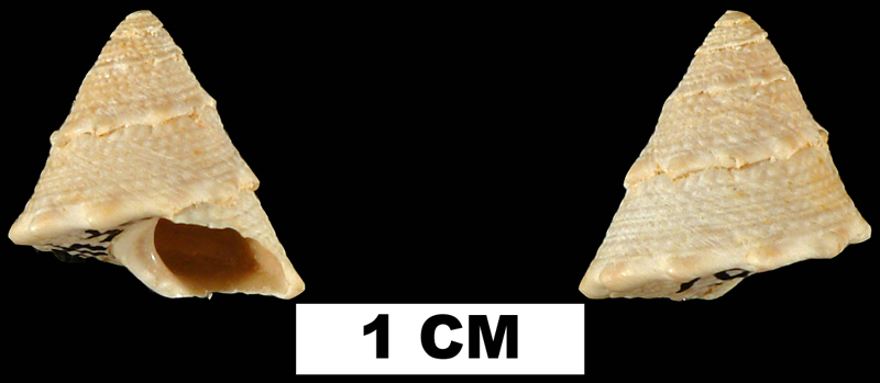 <i>Lithopoma chipolana</i> from the Early Miocene Chipola Fm. of Calhoun County, Florida (UF 40161).