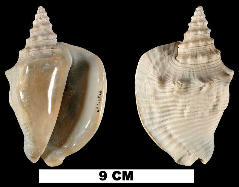 <i>Lobatus diegelae</i> from the Middle Pleistocene Bermont Fm. of Miami-Dade County, Florida (UF 212526).