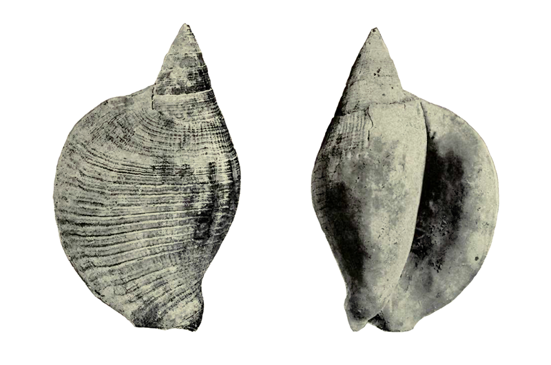 Specimen of <i>Lobatus leidyi</i> figured by Heilprin (1886, pl. 6, fig. 11, and pl. 7, fig. 11a); 8 in. in length.