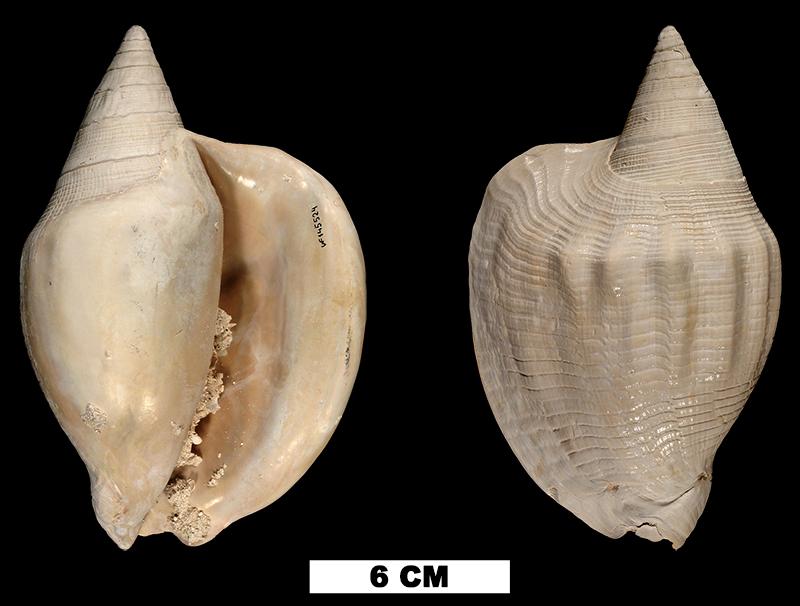 <i>Lobatus leidyi</i> (UF 145524).