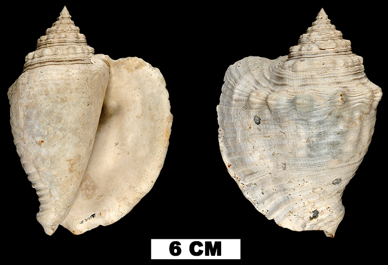 <i>Lobatus mayacensis</i> from the Middle Pleistocene Bermont Fm. of Palm Beach County, Florida (UF 54077).