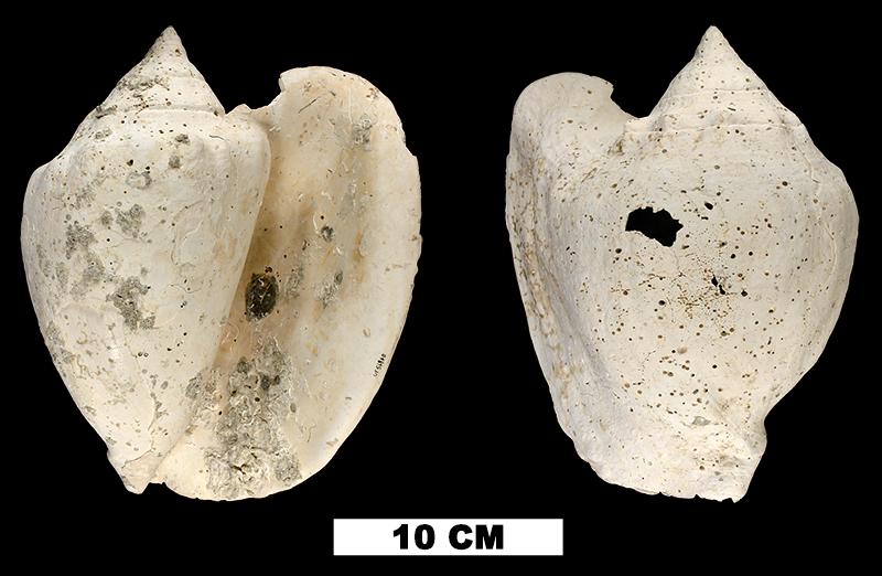 <i>Lobatus williamsi</i> from the Plio-Pleistocene (formation unknown) of Hendry County, Florida (UF 56860).