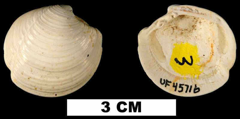 <i>Lucina glenni</i> from the Shoal River Fm. of Walton County, Florida (UF 45716).