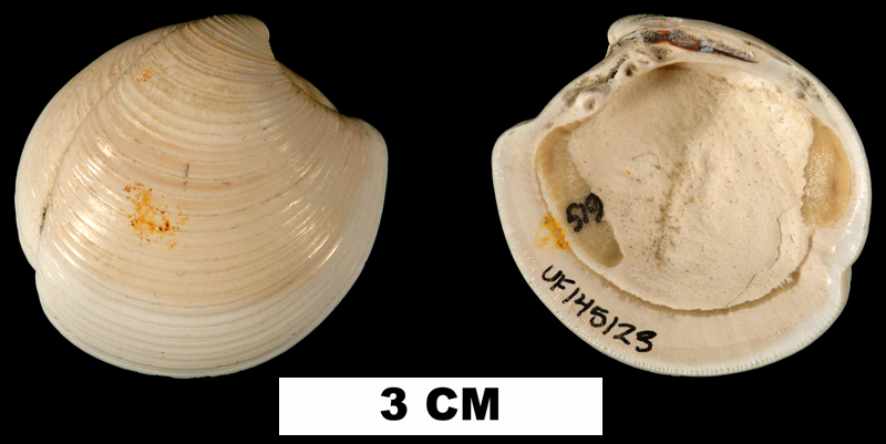 <i>Lucina pensylvanica</i> from the Early Pleistocene Caloosahatchee Fm. of Glades County, Florida (UF 145123).