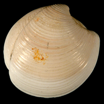 Lucinidae