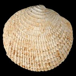 Lucinisca