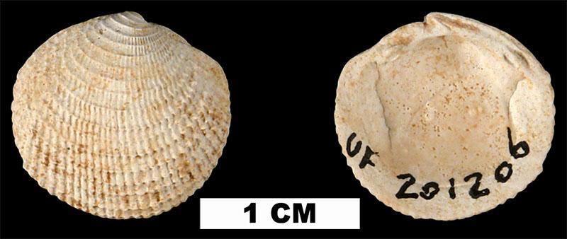 Lucinisca nassula from the Early Pleistocene Caloosahatchee Fm. of Glades County, Florida (UF 201206).