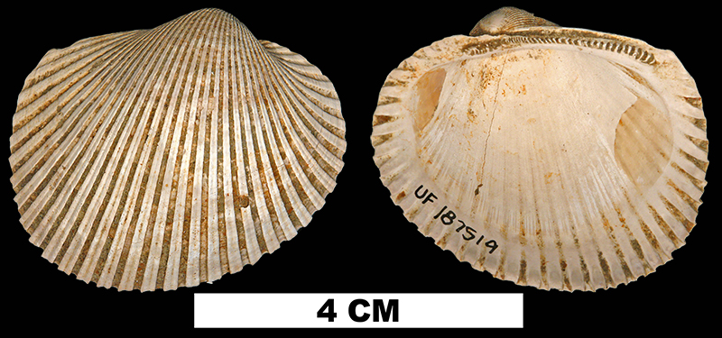 <i>Lunarca ovalis</i> from the Late Pleistocene Flanner Beach Fm. of Craven County, North Carolina (UF 187519).