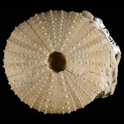 Toxopneustidae