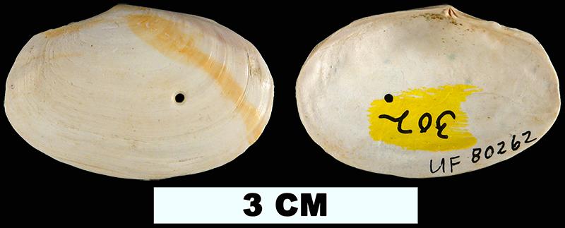 <i>Macoma arctata</i> from the Late Pliocene Jackson Bluff Fm. of Leon County, Florida (UF 80262).