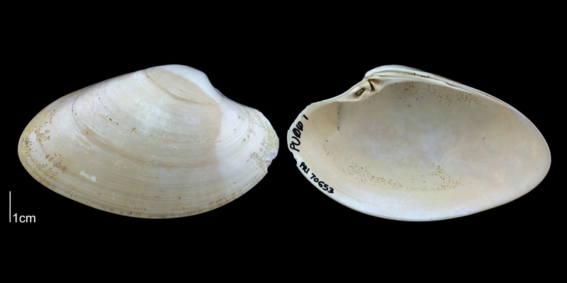 <i>Macrocallista nimbosa</i> from the Plio-Pleistocene Nashua Fm. of Putnam County, Florida (PRI 70653).