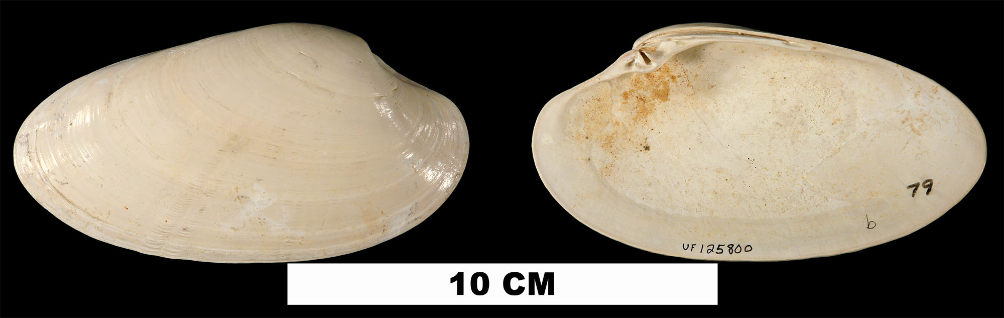 <i>Macrocallista nimbosa</i> from the Early Pleistocene Caloosahatchee Fm. or Middle Pleistocene Bermont Fm. (stratigraphic position uncertain) of Glades County, Florida (UF 125800).