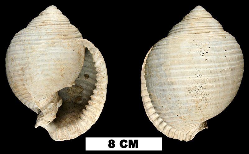 <i>Malea densecostata</i> from the Plio-Pleistocene (formation unknown) of Glades County, Florida (UF 138688).