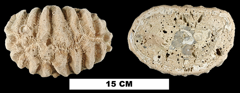 <i>Manicina areolata</i> from either the Early Pleistocene Caloosahatchee Fm. or Middle Pleistocene Bermont Fm. of Collier County, Florida (UF 107704).