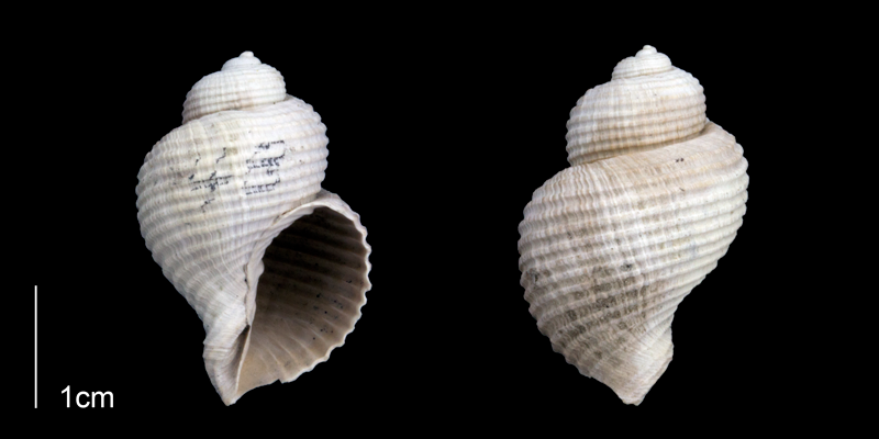 <i>Massyla propevenusta</i> from the Late Pliocene Tamiami Fm. (Pinecrest Beds) of Sarasota County, Florida (PRI 70188).