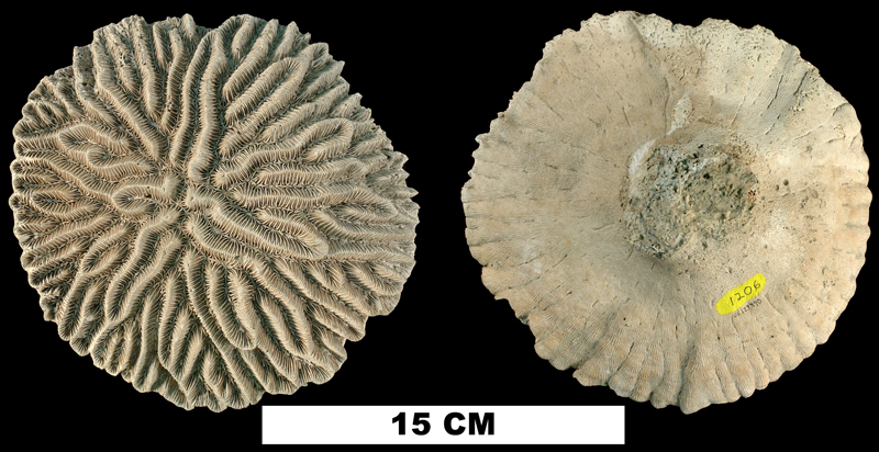 <i>Meandrina meandrites</i> from the Plio-Pleistocene (formation unknown) of Sarasota County, Florida (UF 123490).