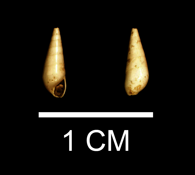 <i>Melanella laevigata</i> from the Late Pliocene Duplin Fm. of Wayne County, Georgia (SDSM 112170).