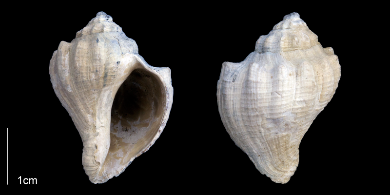 <i>Melongena bispinosa</i> from the Late Pliocene Tamiami Fm. (Pinecrest Beds) of Sarasota County, Florida (PRI 70062).
