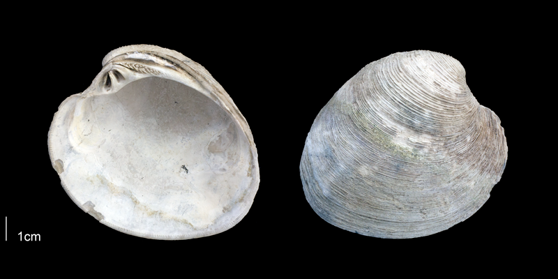<i>Mercenaria campechiensis</i> from the Late Pliocene Tamiami Fm. (Pinecrest Beds) of Sarasota County, Florida (PRI 70125).