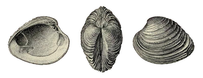 Specimen of <i>Mercenaria langdoni</i> figured by Dall (1900, pl. 42, fig. 2, 7, and 12); 88.0 mm in length.