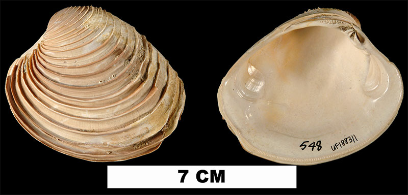 <i>Mercenaria langdoni</i> from the Early Miocene Chipola Fm. of Calhoun County, Florida (UF 188311).