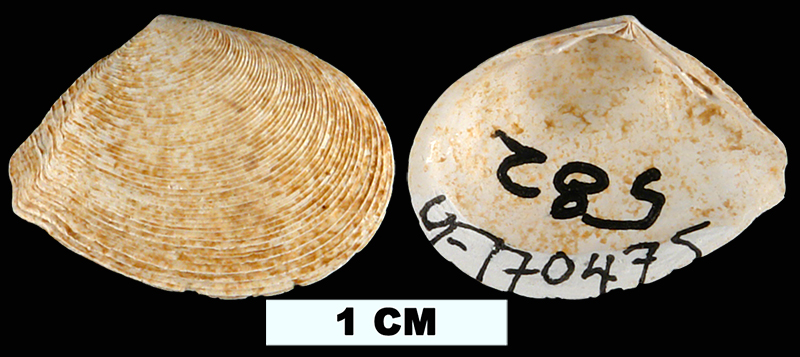 <i>Merisca aequistriata</i> from the Late Pliocene Tamiami Fm. (Pinecrest Beds) of Glades County, Florida (UF 170475).