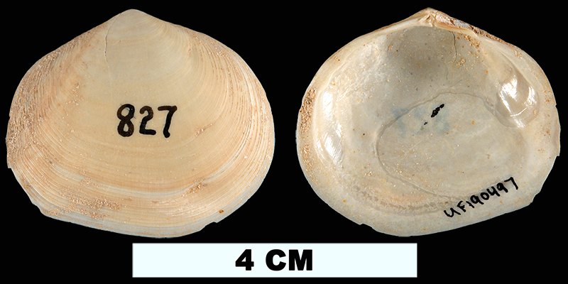 <i>Apolymetis chipolana</i> from the Early Miocene Chipola Fm. of Calhoun County, Florida (UF 190497).