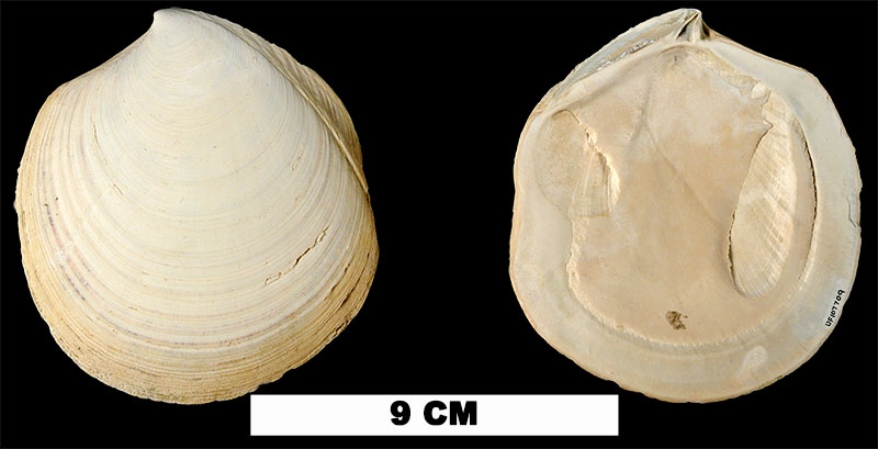 <i>Miltha carmenae</i> from either the Caloosahatchee Fm. (Early Pleistocene) or Bermont Fm. (Middle Pleistocene) of Collier County, Florida (UF 107709).