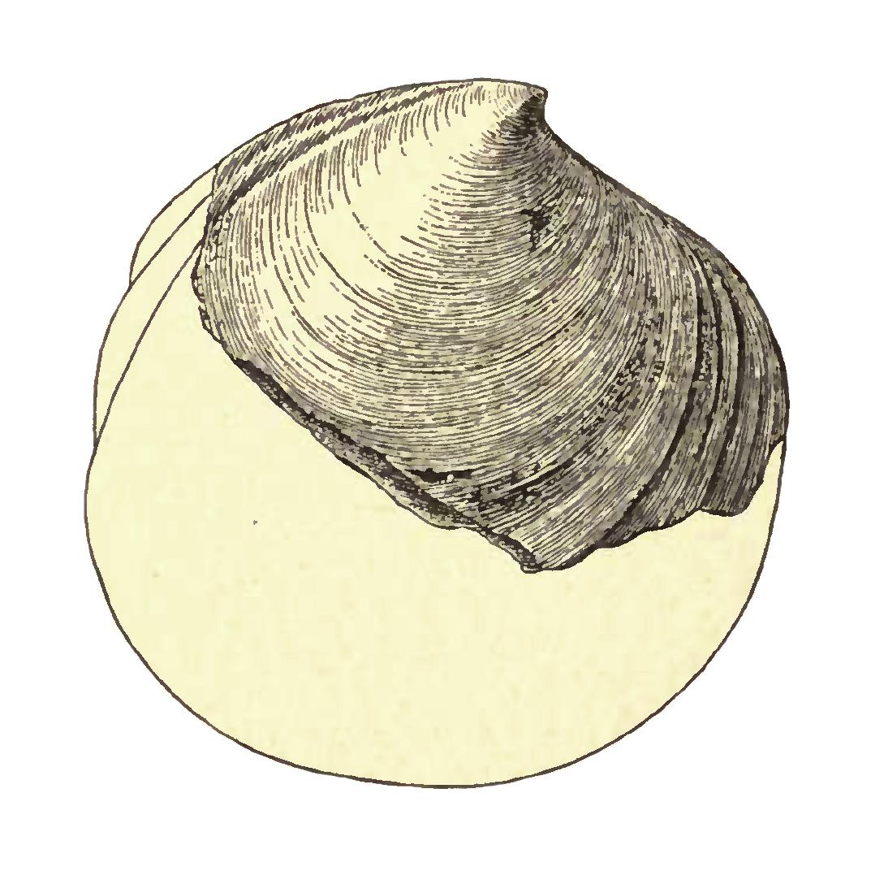 Specimen of <i>Miltha chipolana</i> figured by Dall (1903, pl. 51, fig. 11); 71.0 mm in length.