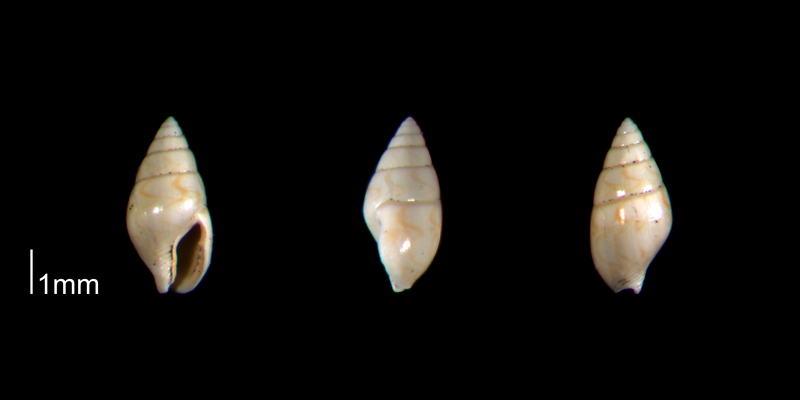 <i>Mitrella gardnerae</i> from the Early Pleistocene Waccamaw Fm. of Brunswick County, North Carolina (PRI 70446).
