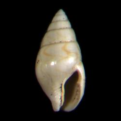Mitrella gardnerae
