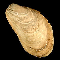 Modiolus ducatelii