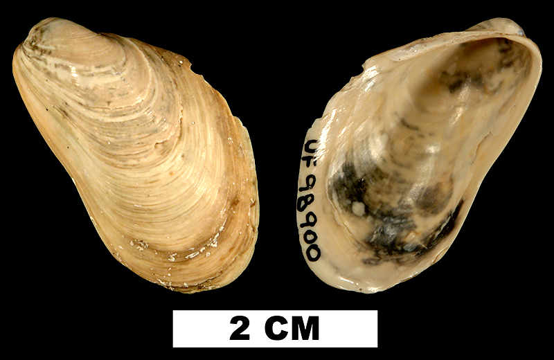 <i>Modiolus ducatelii</i> from the Early Miocene Chipola Fm. of Calhoun County, Florida (UF 98900).