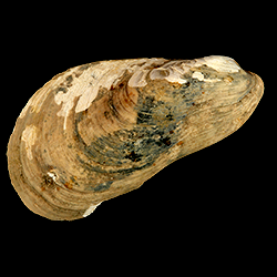 Modiolus