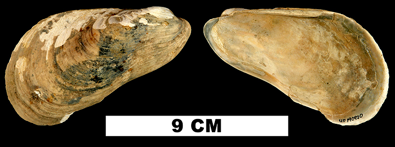 <i>Modiolus gigas</i> from the Late Pliocene Yorktown Fm. (Zone 2) of Isle of Wight County, Virginia (UF 190920).