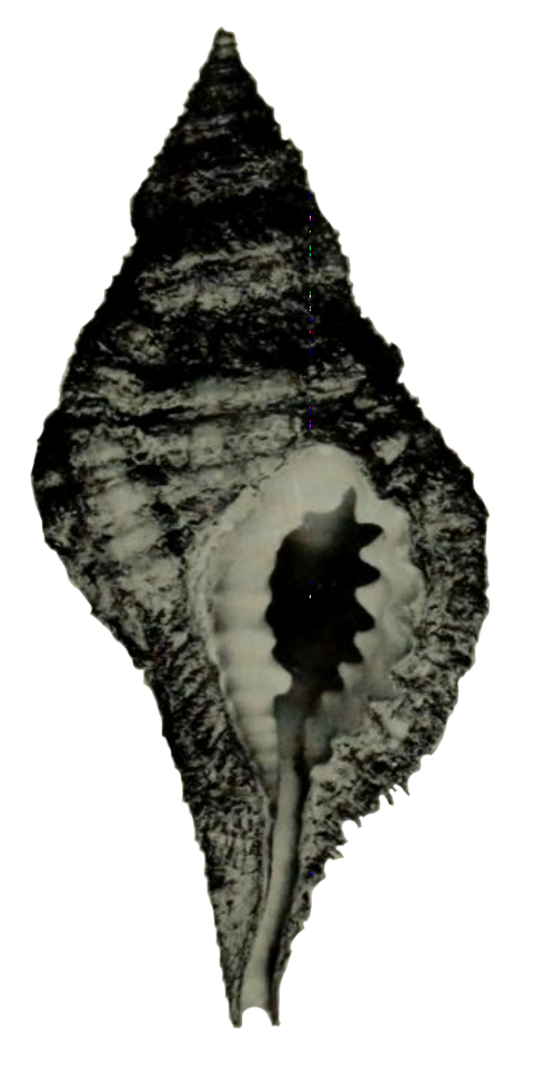 Specimen of <i>Monoplex krebsii</i> figured by Clench and Turner (1957, pl. 124, fig. 1); x1.4.
