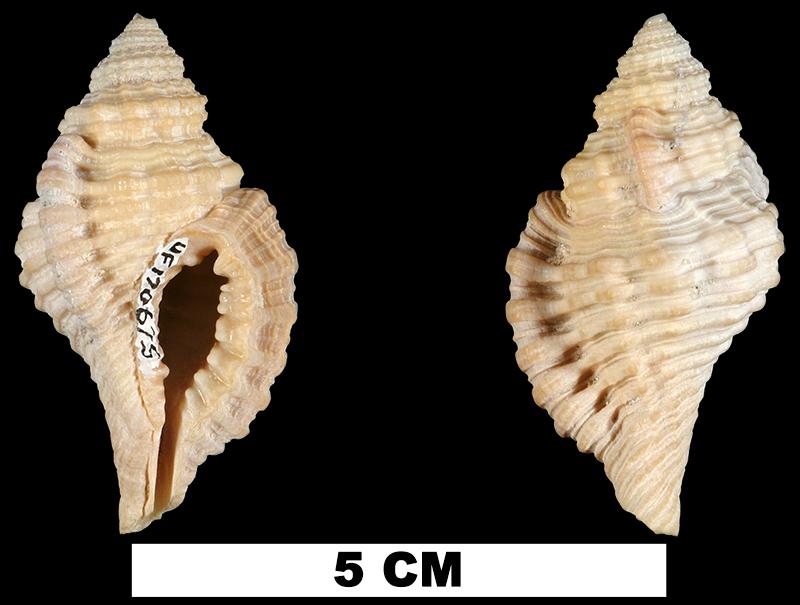 <i>Monoplex krebsii</i> from the Middle Pleistocene Bermont Fm. of Miami-Dade County, Florida (UF 170675).