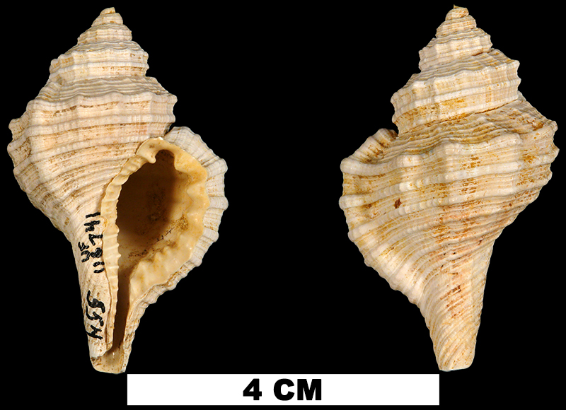 <i>Monoplex ritteri</i> from the Early Miocene Chipola Fm. of Calhoun County, Florida (UF 116741).