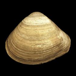 Mactridae