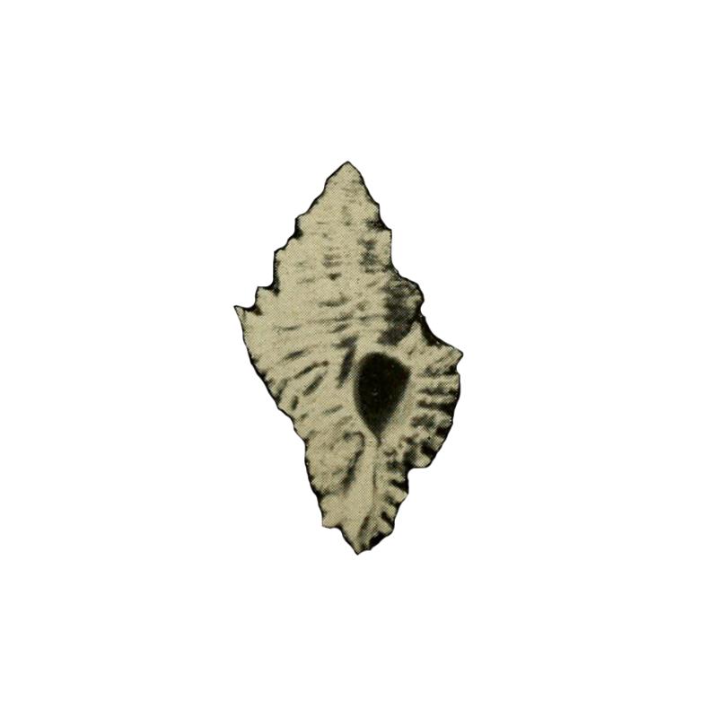 Specimen of <i>Favartia glypta</i> figured by M. Smith (1938, pl. 6, fig. 10).