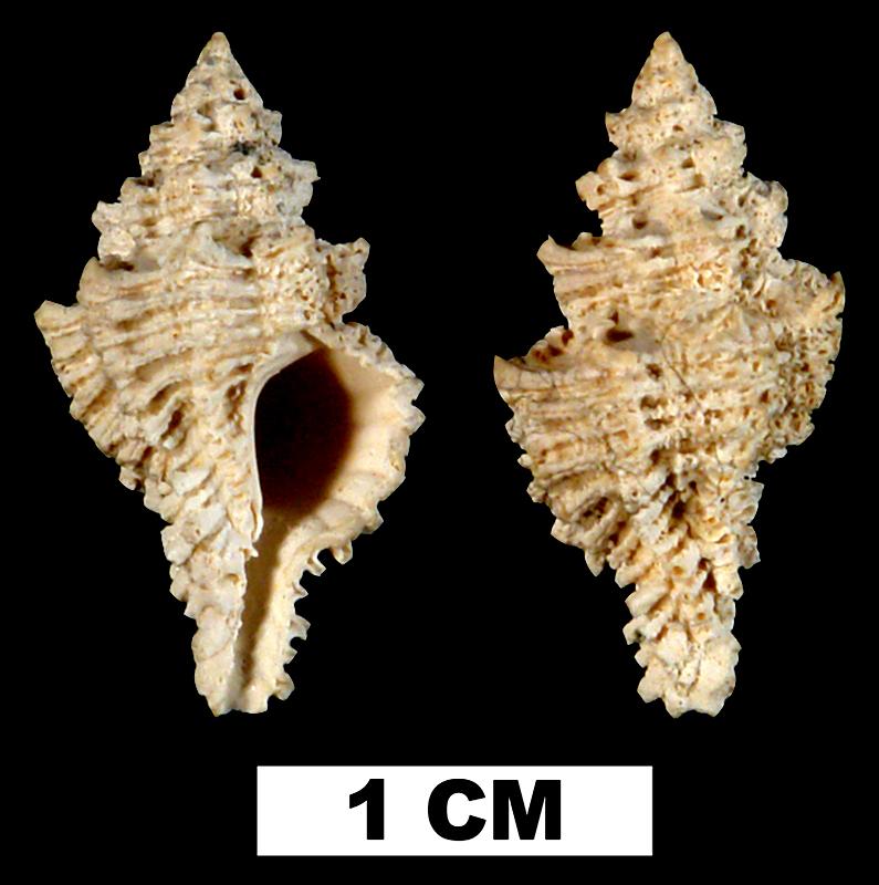 <i>Favartia glypta</i> from either the Early Pleistocene Caloosahatchee Fm. or Middle Pleistocene Bermont Fm. of Hendry County, Florida (UF 138296).