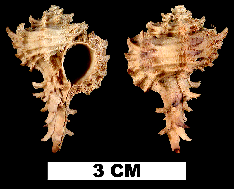 <i>Favartia graceae</i> from the Middle Pleistocene Bermont Fm. of Palm Beach County, Florida (UF 51612).