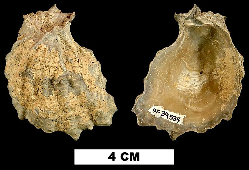 <i>Ostrea greeni</i> from the Late Pliocene Tamiami Fm. of Charlotte County, Florida (UF 39534).