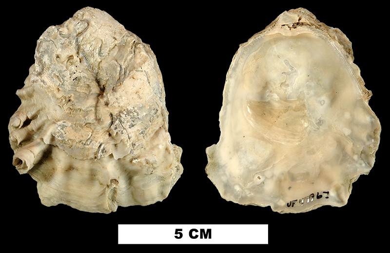 <i>Ostrea lawrencei</i> from the Early Pleistocene Nashua Fm. of Orange County, Florida (UF 47967).