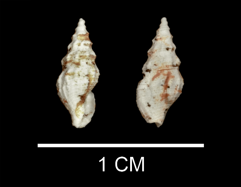 <i>Nannodiella pauca</i> from the upper Pliocene Yorktown Fm. (Moore House Member) of Virginia (SDSM 135258).
