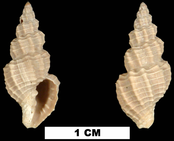 <i>Narona agria</i> from the Plio-Pleistocene (stratigraphic position unknown) of Sarasota County, Florida (UF 228661).