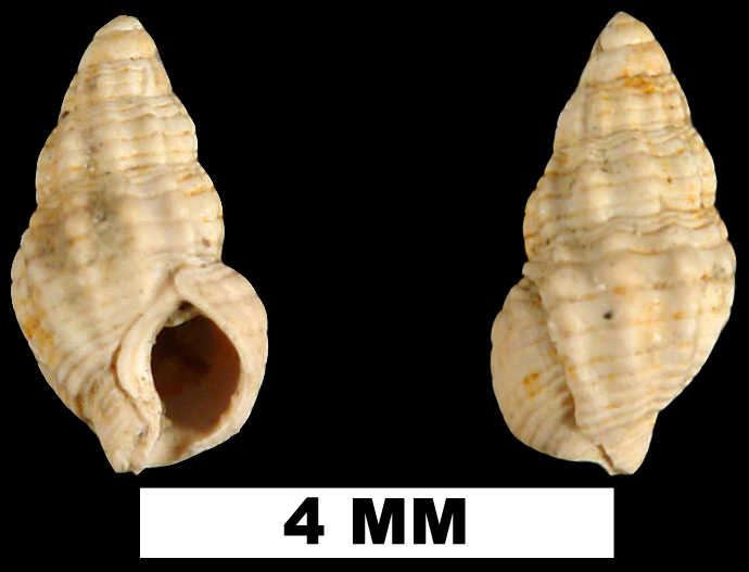<i>Nassarius cornellianus</i> from the Late Pliocene Duplin Formation of Duplin County, North Carolina (UF 81854).