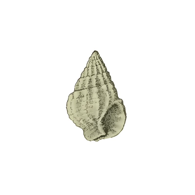 Specimen of <i>Nassarius harrisi</i> figured by Maury (1910, pl. 5, fig. 9); 8 mm in length.