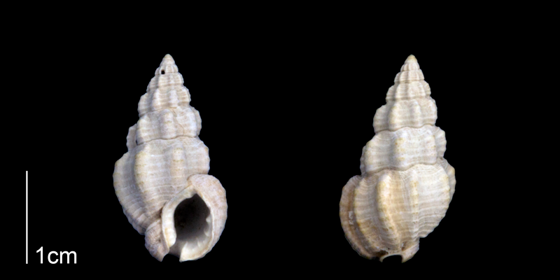 <i>Nassarius locklini</i> from the Late Pliocene Tamiami Fm. (Pinecrest Beds) of Sarasota County, Florida (PRI 70257).