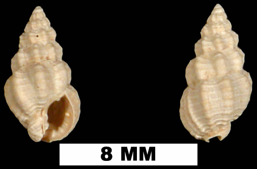<i>Nassarius locklini</i> from the Early Pleistocene Caloosahatchee Fm. of Hendry County, Florida (UF 98085).